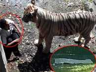 Tiger at Delhi Zoo mauls youth to death
