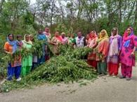भरमाड़ में महिलाओं ने उखाड़ी भांग