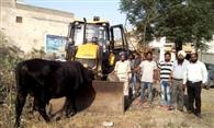 लावारिस सांडों से मंडी गोबिंदगढ़ को मिली निजात