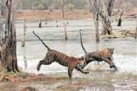 Count up from 14 to 21 in 3 years Manas National Park has 7 more tigers