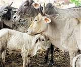 बंगाल में ग्रामीणों ने तीन मवेशी चोरों को पीटकर मार डाला