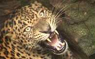 Leopard become very danger in tehri, four people injured