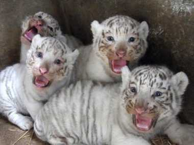 four new white tiger cubs born in vandalur zoo