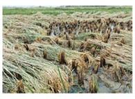 काल बैसाखी की भेंट चढ़ी सैकड़ों बीघा धान की फसल