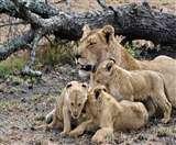 मातृत्व सिखाने के लिए शेरनी को दिखाई डॉक्यूमेंट्री