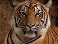 Tiger Poacher flade away from hospital by breaking windows of washroom