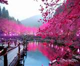 जापान : चेरी ब्लॉसम का ऐसा अद्भुत आकर्षण नहीं मिलेगा कहीं देखने को