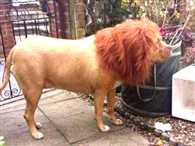 do not scare this is dog not a lion