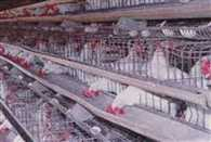 central government is committed for poultry development