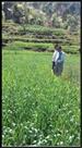 कृषि विशेषज्ञों ने किया पीला रतुआ प्रभाविता खेतों का दौरा