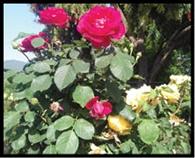 गुलाब की खुशबू से महक रही चंपा वैली