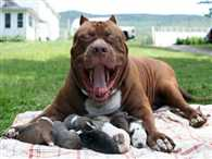 world's biggest pitbull dog gave birth 8 puppies