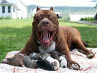 world's biggest pitbull dog gave birth 8 puppies