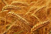 agriculture ministry will anounce fourt advance data on wheat production