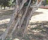 एफआरआइ की रिपोर्ट: राष्ट्रपति भवन के 35 फीसद पेड़ खोखले