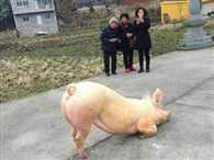 Celebrity Pig