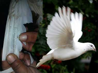 suspected spy pigeon of Pakistani caught in a border Village Manwal in pathankot