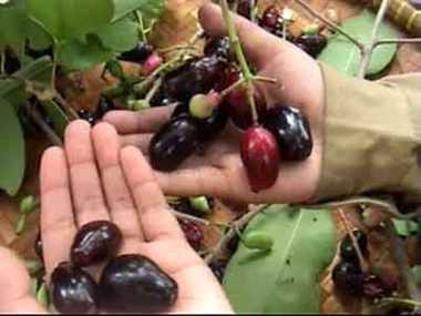 Importance of Syzygium cumini fruit