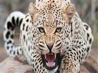 Woman Trapped Leopard in Cow Shed