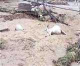 भारी बारिश के बीच 550 से अधिक गायों की मौत, 2000 की जान खतरे में