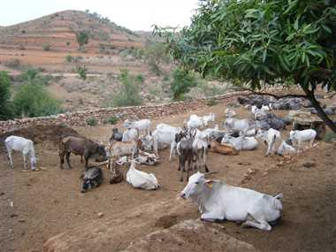 muslims to protect cows in gujarat