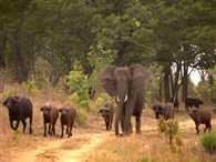 The elephant who thinks she's a buffalo!