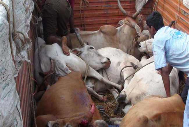70 cattle loaded five trucks seized in Deoghar, 16 smugglers arrested