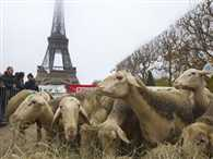 Sheep protests in front of the Eiffel Tower