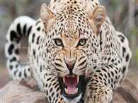 The mother Rescued har Daughter to Leopard attack
