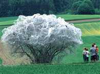 Tree resembles spooky giant cobweb after it's covered in silk by thousands of CATERPILLARS