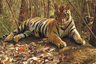 Tigers in India will be doubled by 2022 says Anil Madhav Dave
