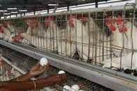 SC issues notice to Centre over cruelty to hens in poultry farms