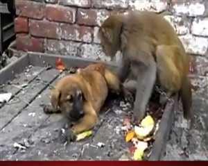 देखिए कुत्ते और बंदर की मजेदार लड़ाई