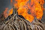 elephant tusks burnt in Kenya