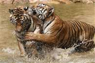 India aims to double tiger count by 2022