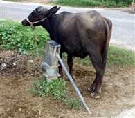 cattle are tied with handpumps
