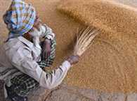 Govt hikes wheat MSP by Rs 50 to Rs 1,450/qtl
