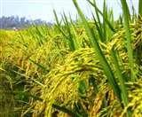 खुलासा! 10 हजार साल पहले चीन में शुरू हुई थी चावल की खेती
