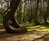 इस जंगल में पेड़ों का 90 डिग्री तक मुड़ना एक रहस्य, क्या हो सकती है असली वजह