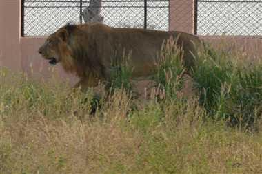 Now new pair in Lion safari