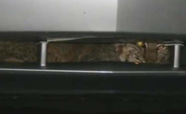 Image result for कार की ग्रिल में फंसी जंगली बिल्ली