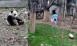इस पांडा की मम्मी से पूछो काला टीका लगाया था कि नहीं, इसकी हरकतें देखकर तो फिदा हो जाओगे