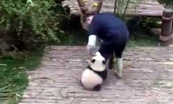 इस बेबी पांडा की क्यूटनेस पर दुनिया हुई कुर्बान!