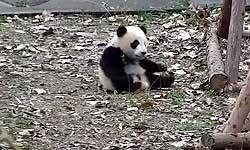 खिलौना छिनने पर इस क्यूट बेबी पांडा का नाटक देख, आप उसे काला टीका जरूर लगाना चाहेंगे