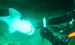 देखें वीडियो : गोताखोरों के पास शार्क आई और कांटा निकलवा कर चली गई