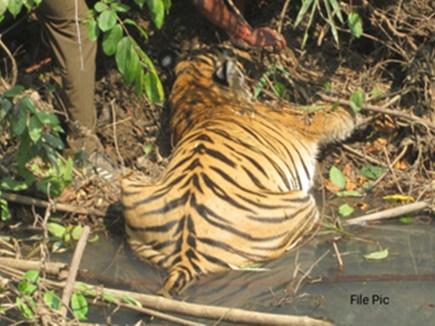 बाघ के शिकार पर अब 12 साल की कैद, 10 लाख जुर्माना हो सकता है