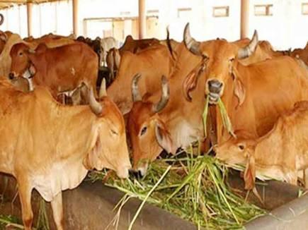cow urine jabalpur 20171113 162029 13 11 2017