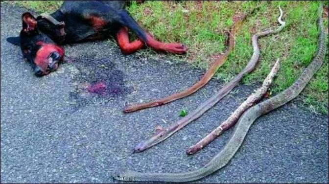 मालिक को बचाने चार सांपों से भिड़ा कुत्ता