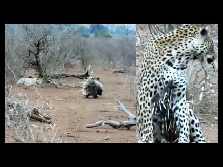 leopard porcupine 15 04 2017