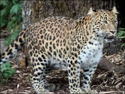 leopard women uttrakhad 11 10 2017